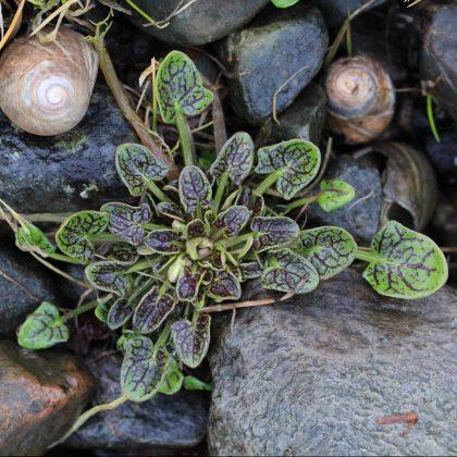 Skjørbuksurt (Cochlearia officinalis)